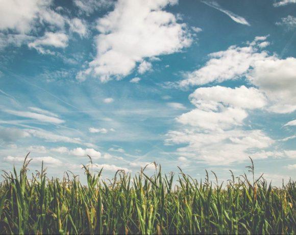 budúca polenta - jej predzvesťou sú kukuričné polia