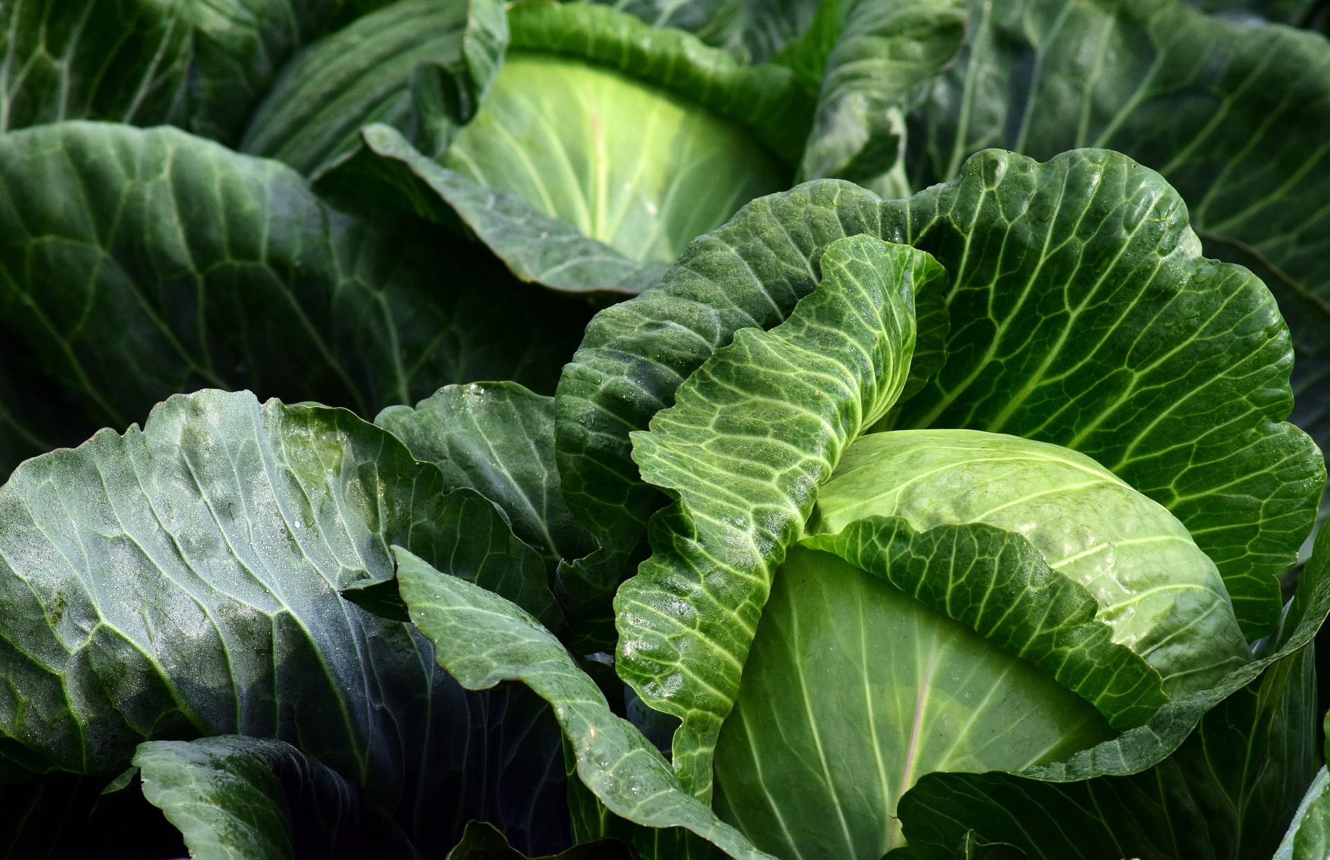 Kapusta - zabudnutá plodina plná zdravia
