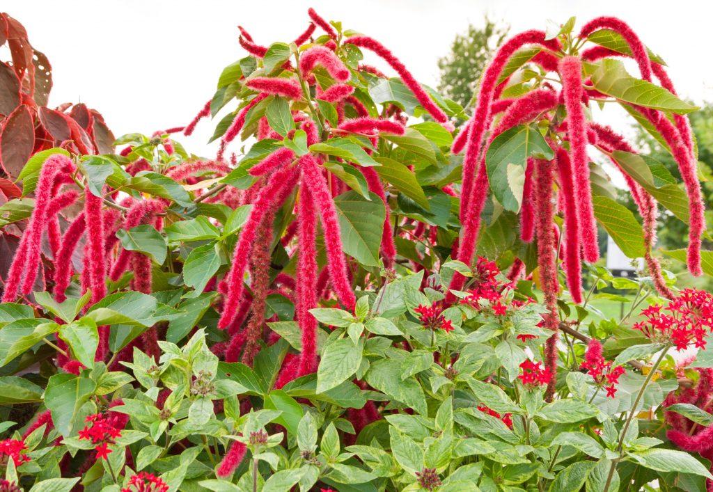Láskavec je obľúbenou okrasnou rastlinou