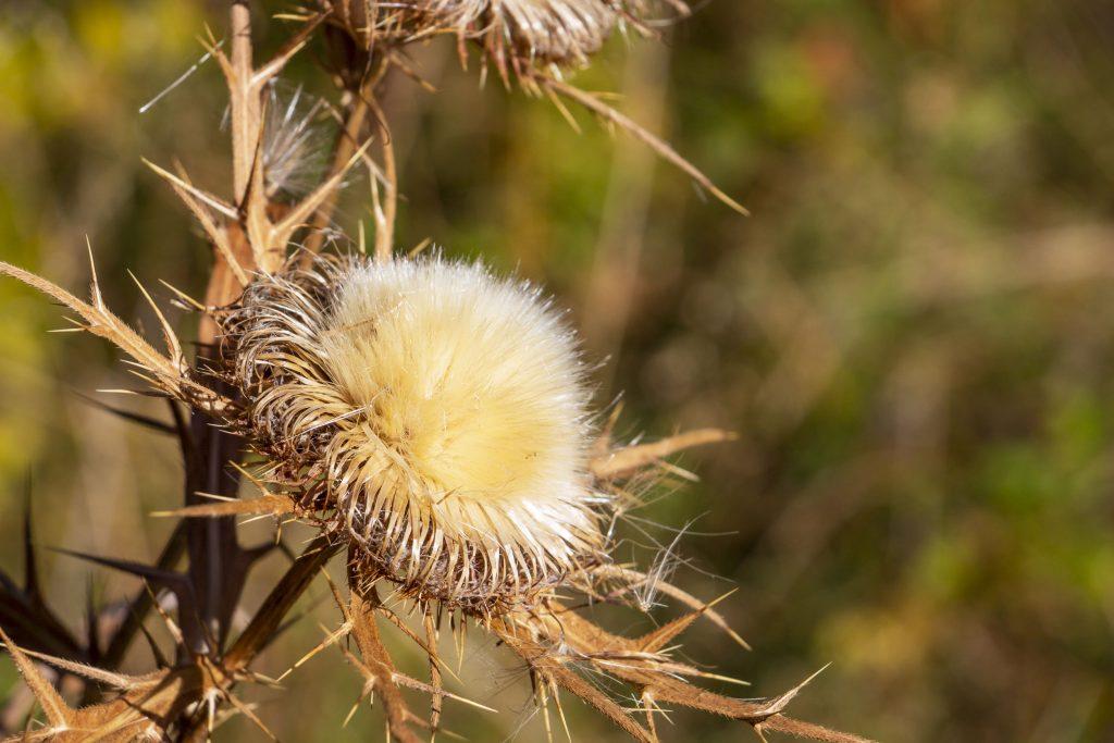 Plody pestreca sa zbierajú, keď sa kvet premení na biele páperie